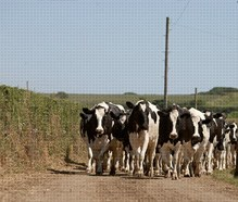 Are dairy cows bred just to produce more milk?